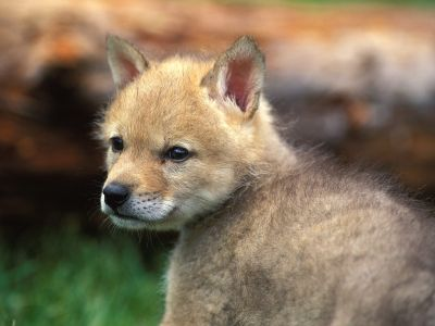 Coyote_Puppy