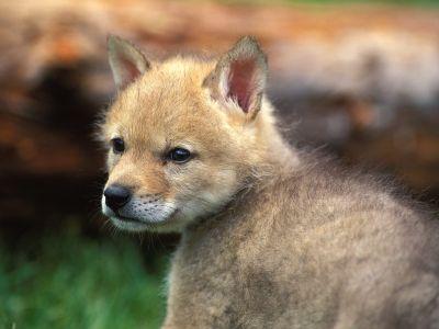 Coyote_Puppy