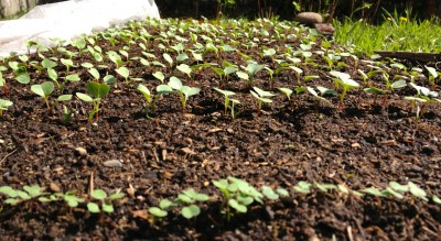 Radish and arugula seedlings